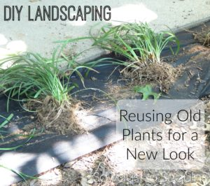 DIY LANDSCAPING  – REUSING OLD PLANTS FOR A NEW LOOK